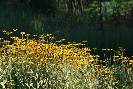 Picture of Rudbeckia Goldsturm